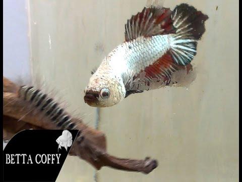 Thức ăn bổ dưỡng cho cá Lia Thia | Part 2 | BETTA COFFY