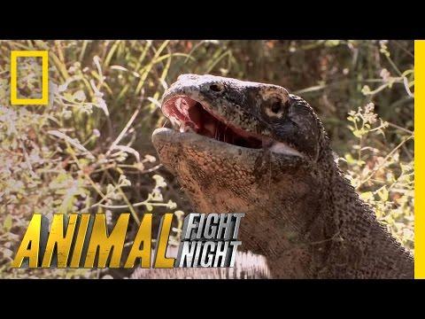 Komodo Knockout | Animal Fight Night