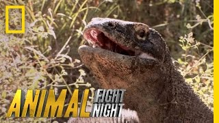 Komodo Knockout | Animal Fight Night