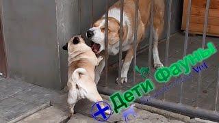 Мопс против алабая. Pug vs Alabai