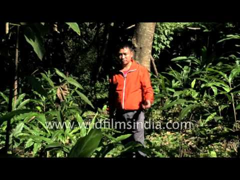 Large Cardamom plantation in Sikkim - Bari elaichi