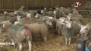 L'agneau de Touraine, un élevage d'exception