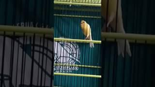 Video Suara burung kenari Yellow king F3 milik Mr.penyo joGja download MP3, 3GP, MP4, WEBM, AVI, FLV Juni 2018