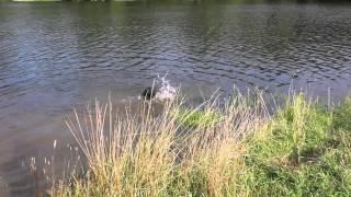 Schnauzer Swimming
