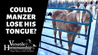COULD MANZER LOSE HIS TONGUE? // Versatile Horsemanship