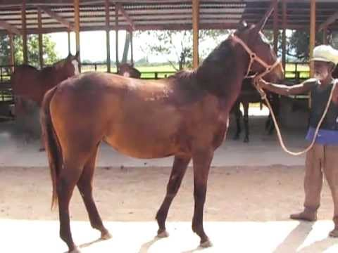 Judge Judy (Legal Process-Lady Bangadesh 2009 b.f.) @ Bombay Stud Farm, Jamaica