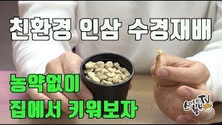 인삼수경재배 필요한 준비물과 방법 양액 황토볼 휴가토 …