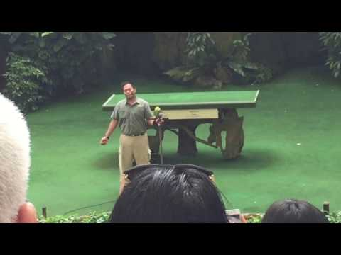 Parrot Sings In Chinese LIVE At Jurong Bird Park ( Singapore)