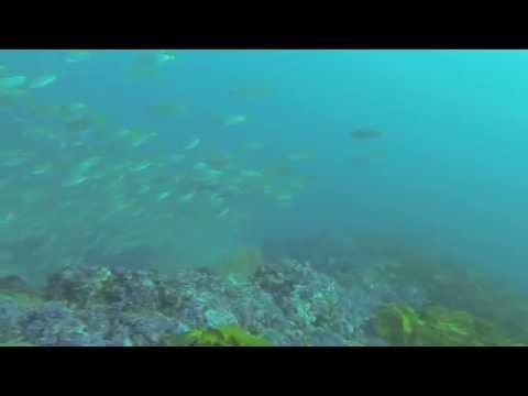 Raw Footage: Spearfishing Sydney Yellowtail Kingfish