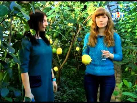 В саратовском лимонарии собирают урожай цитрусовых