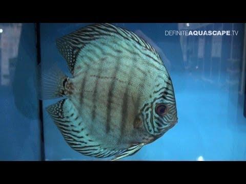 Discus Fish Classification: Blue Turquoise Discus - Aquatics Live 2012, Pt.14