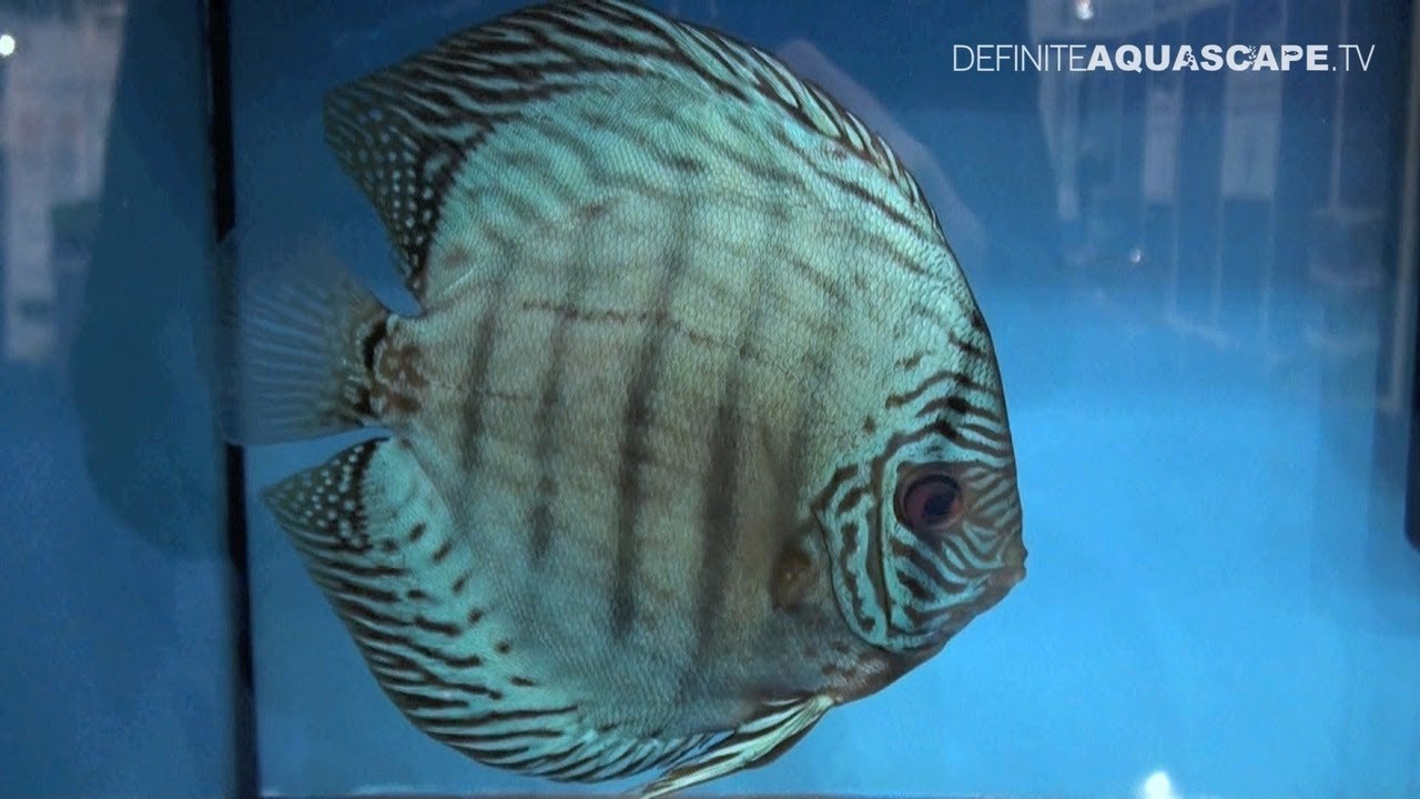 Live Watch Wallpaper Hd Discus Fish Classification Blue Turquoise Discus