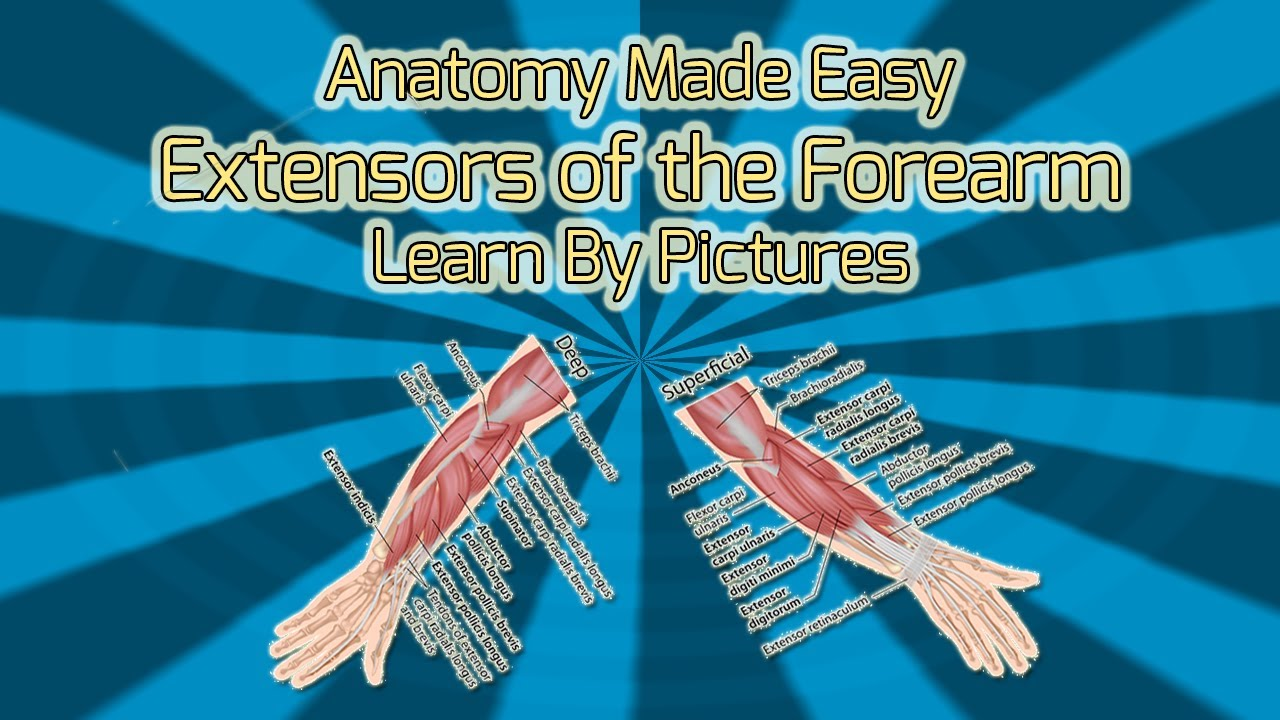 Extensors of the Forearm - Anatomy Made Easy - YouTube