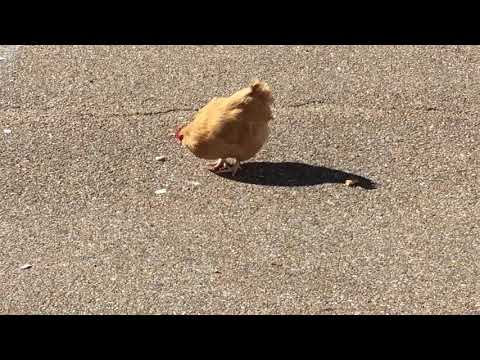 Chicken on the loose at shopping center.