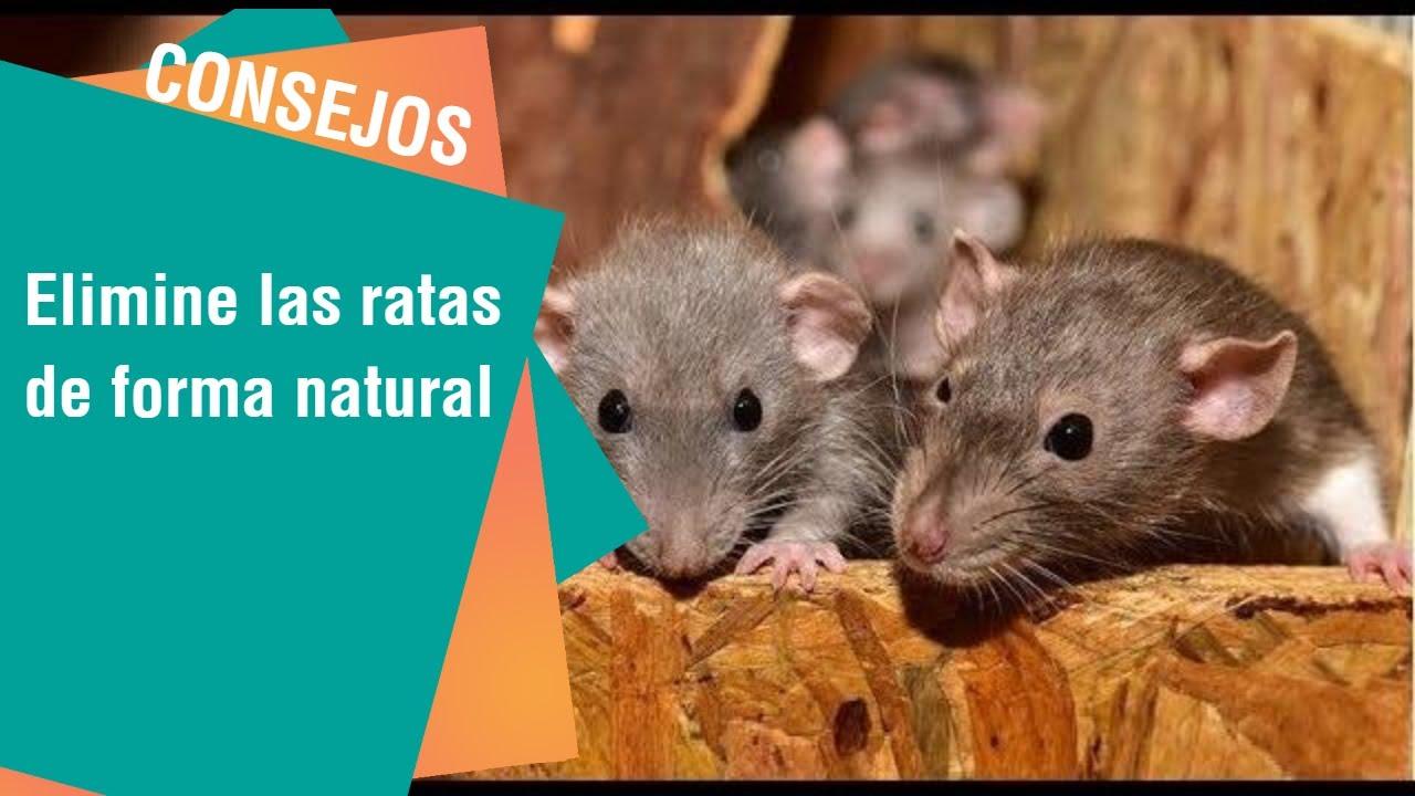 Como Acabar Con Las Ratas En El Campo Consejos Para Eliminar Las Ratas De Su Hogar En Forma Natural