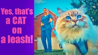 Walking a Siberian Cat on a Leash  Magic Siberians Hypoallergenic kittens & Cats