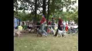Межрегиональная 114-я Московская выставка собак охотничьих пород. Старший ринг сук