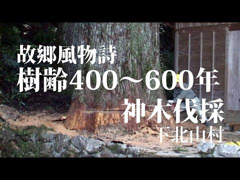 樹齢600年の巨木倒伐 Big tree felling of 600 year old Japan cedar