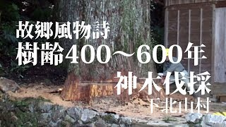 樹齢400年の巨木倒伐 Big tree fel...