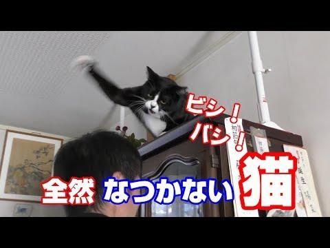 猫パンチ炸裂 全然なつかない猫をなつかせる2 ハウル beaten my head by a cat
