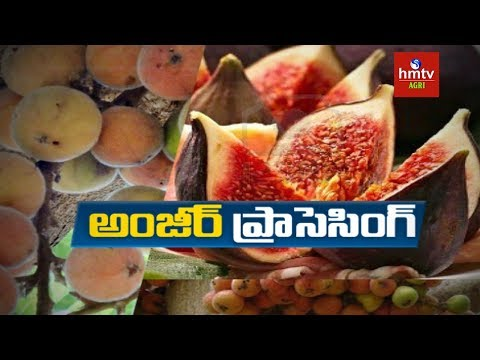 Anjeer Processing Guide By Mynampati Sreenivasa Rao | Food P