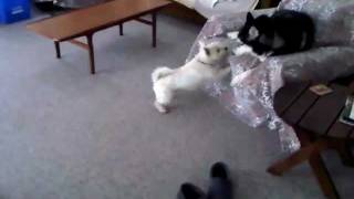 Siberian Husky And Westie Playing!!