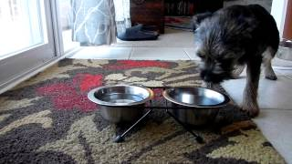 The Adventures Of Tator Tot The Border Terrier - Eating