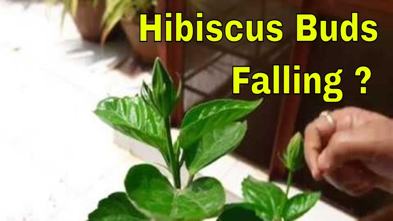 Buds Falling In Hibiscus What To Do How To Cure Bud Yellowing