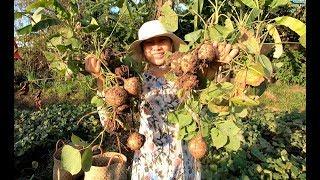 Đào củ Sắn về ướp nước đá ăn sống - Hương vị đồng quê - Bến Tre - Miền Tây