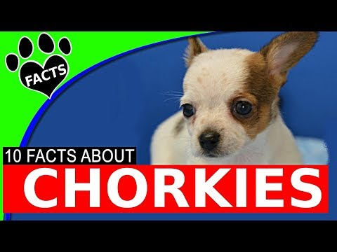Designer Dogs 101: Chorkie Dogs 10 Chihuahua Yorkie Mix Facts Popular Designer Breeds - Animal Facts