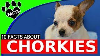Chorkie Designer Dogs 101 - Ad…