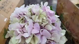 [인터넷꽃도매시장]엔틱수국 김해꽃집 꽃도매시장 꽃도매 …