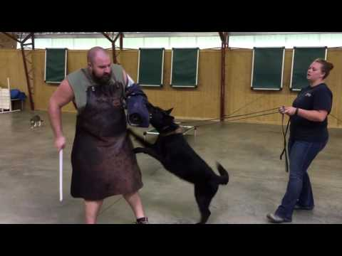 "black-german-female-german-shepherd-""darla""-2-yrs-protection-obedience-trained-dog-for-sale"