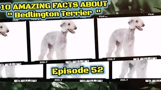 Top 10 amazing facts about Bedlington Terrier.
