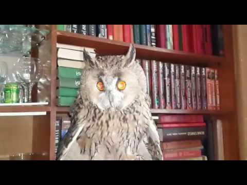 видео: Говорящая сова (2) owl and dog