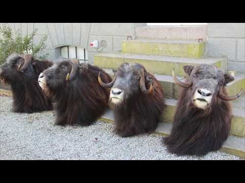 Musk ox hunting outfitters Greenland Trophy guarantee