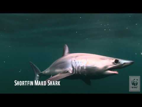 Les requins de l'Atlantique