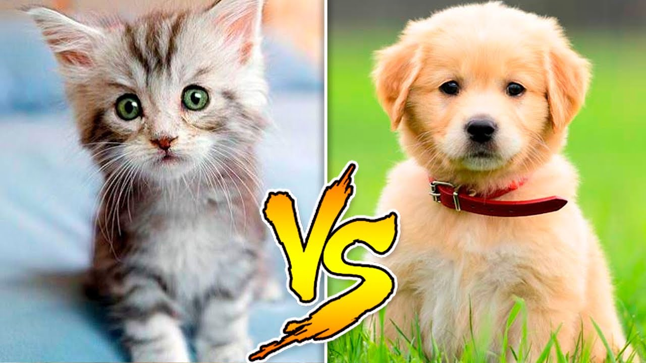 Cat And Dog Vs Cat And Cat