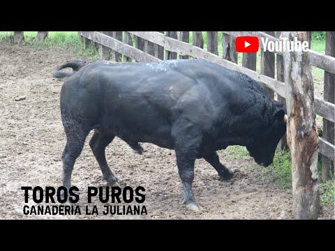 Desembarque y Llegada de los toros puros a la Ganadería La Juliana