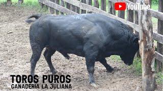 Download Desembarque y Llegada de los toros puros a la Ganadería La Juliana Mp3 and Videos