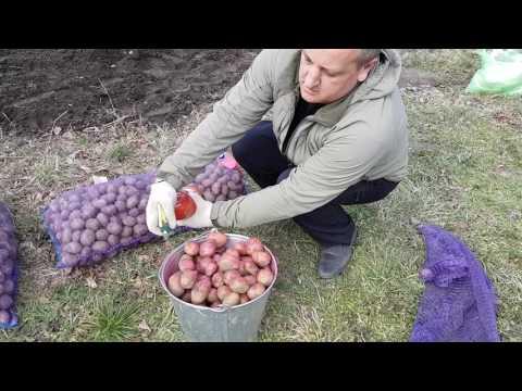 Посадка картофеля Импала, 1-й репродукции, под агроспан.