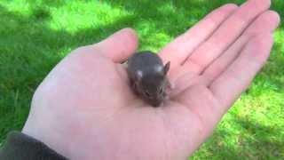 Мышонок Пик - прикольная маленькая мышка