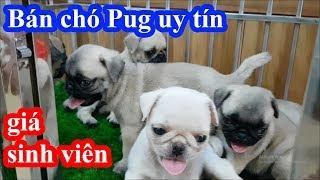 Cận cảnh quy trình để bán một em Pug siêu khỏe mạnh GIÁ HỌC SINH của PUGK PET SHOP