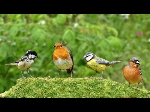 Videos for Cats : Chirpy Birds at Green Hill