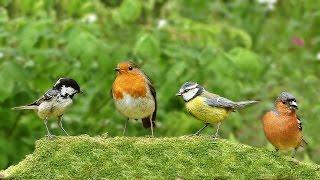 Video Per Gatti : Cinguettio Degli Uccelli