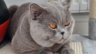 Cats  British Shorthair CATS