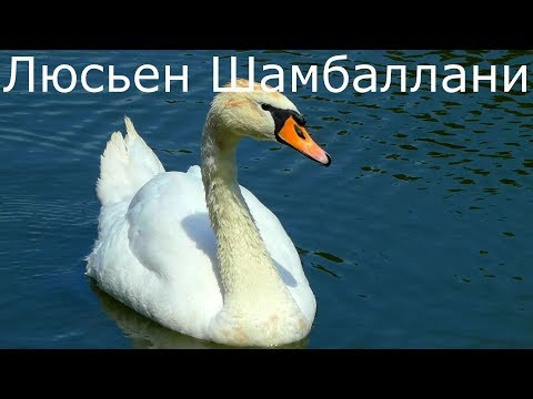 Люсьен Шамбаллани музыка для летнего отдыха души и тела. Белые лебеди на пруду.