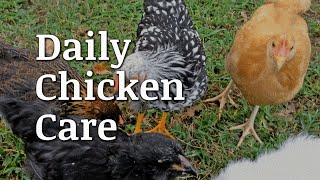 Daily Chicken Care Documentary
