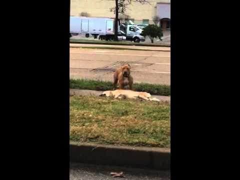 Memphis Fights Pitbull Part1
