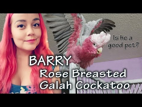 All About Barry, Rose Breasted Galah Cockatoo
